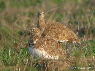 Little Bustards Tetrax tetrax